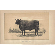 SALE Bi-Color Lithograph RED POLLED COW c. 1888 Julius Bien