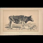 Bi-Color Lithograph C. 1888 Julius Bien DUN COW