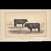 SALE Bi-Color Lithograph WELSH Yearling BULL and HEIFER Julius Bien 1888