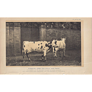 SALE Bi-Color Lithograph AYSHIRE COWS Julius Bien 1888