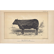 SOLD Bi-Color Lithograph RED POLLED COW  c. 1888 Julius Bien