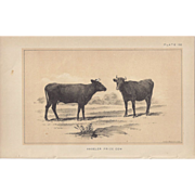 SALE Bi-Color Lithograph ANGELER PRIZE COW c. 1888 Julius Bien