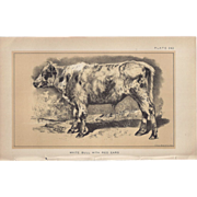 SALE Bi-Color Lithograph White Bull with Red Ears c. 1888 Julius Bien