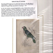 SALE 19th Century Engraving by Joseph B. Kidd, Red-Naped PARRRAKEET, Matted