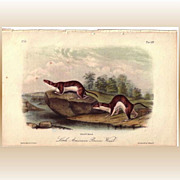 SALE Original Quadruped Octavo Audubon Print Brown Weasel