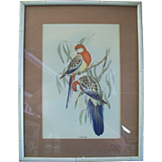 1940's John Gould Offset Lithograph Print - Eastern Rosella Parakeets