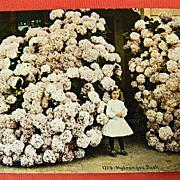 SOLD Vintage Postcard -  Little Girl and a HUGE Hydrangea Bush - UNUSED